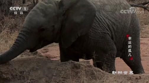 [动物世界]大象将树连根拔起 咀嚼潮湿的树根