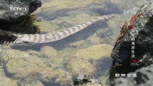 [动物世界]章鱼擅长伪装 鳝鱼懂得埋伏 耐心的猎手得到了应有的回馈