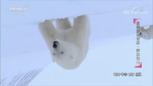 《动物世界》 20191124 北极熊的世界·浮冰远去