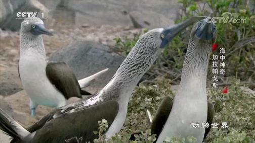 《动物世界》 20200106 海中神奇·加拉帕戈斯(下)
