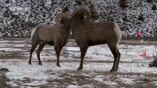 《动物世界》 20200411 为爱起舞