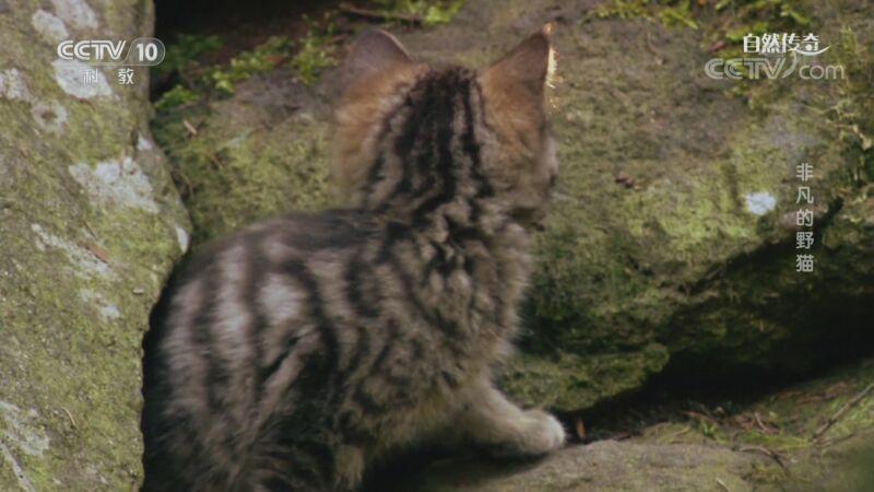 《自然传奇》 20200830 非凡的野猫