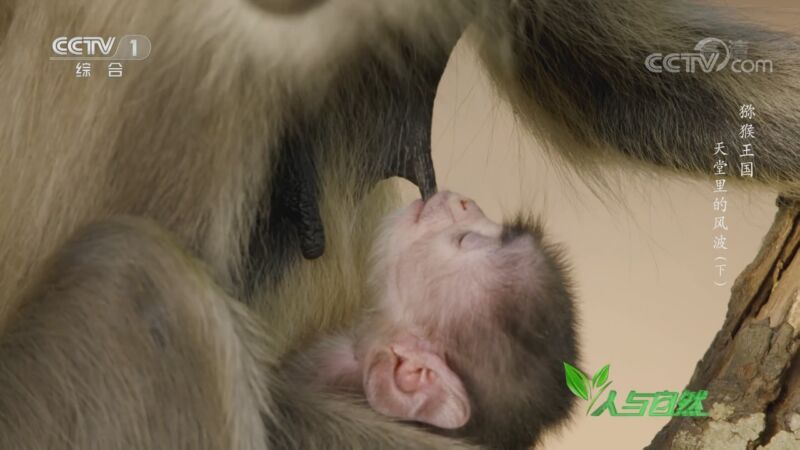 《人与自然》 20200928 猕猴王国——天堂里的风波(下)