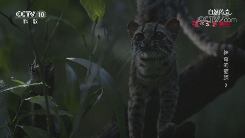 《自然传奇》 20200929 神奇的猫族 2
