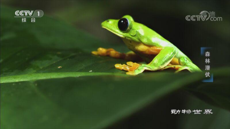 《动物世界》 20200930 森林潜伏