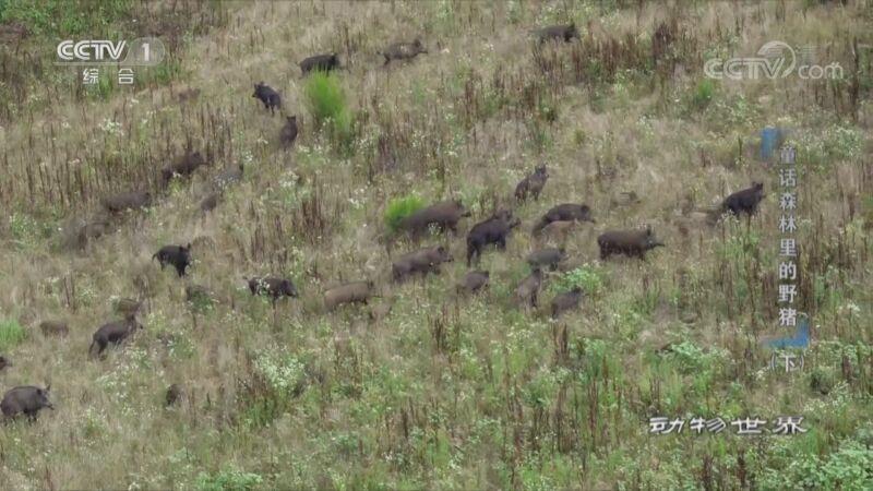 《动物世界》 20201011 童话森林里的野猪(下)