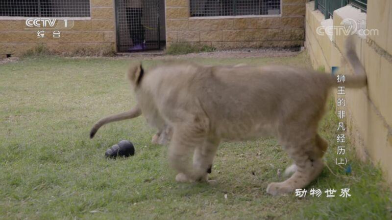 《动物世界》 20201017 狮王的非凡经历(上)
