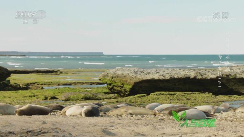 《人与自然》 20201018 巴塔哥尼亚之旅——海岸生机(下)