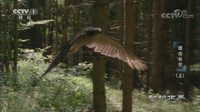 《动物世界》 20201028 鹰击长空(上)