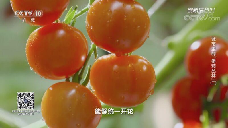 """《创新进行时》 20201110 城市里的""""番茄丛林""""(二)"""