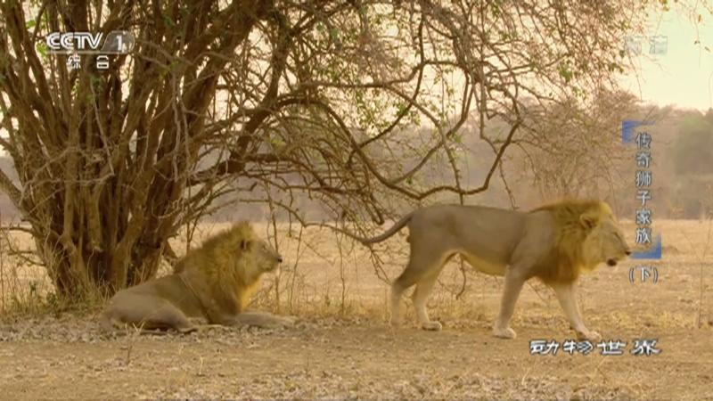 《动物世界》 20210101 传奇狮子家族(下)
