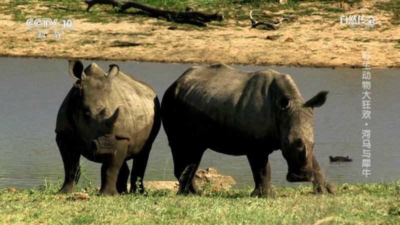 《自然传奇》 20210101 野生动物大狂欢·河马与犀牛