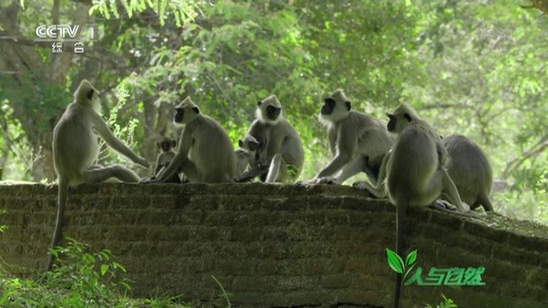 《人与自然》 20210108 猕猴王国的风波(下)