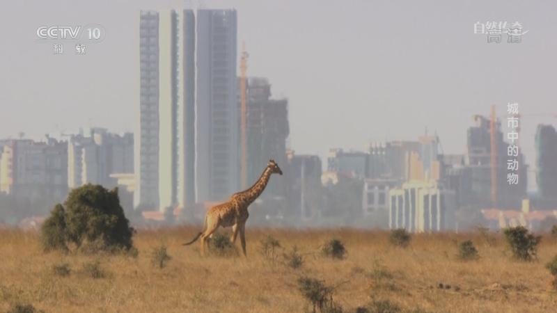 《自然传奇》 20210108 城市中的动物