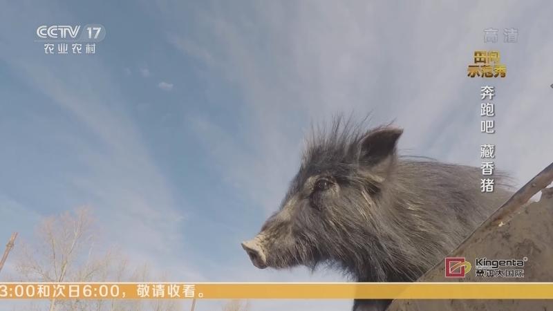 《田间示范秀》 20210112 奔跑吧 藏香猪