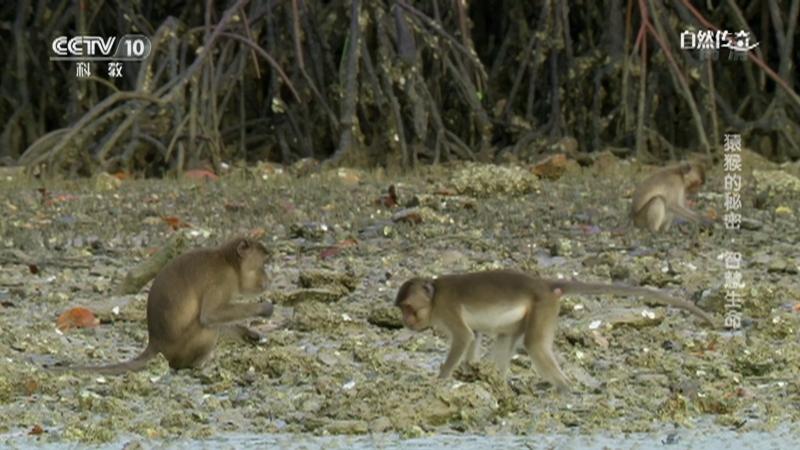 《自然传奇》 20210118 猿猴的秘密·智慧生命