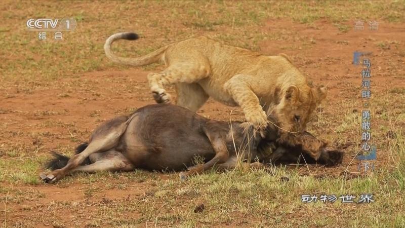 《动物世界》 20210128 马拉河畔·勇敢的心(下)