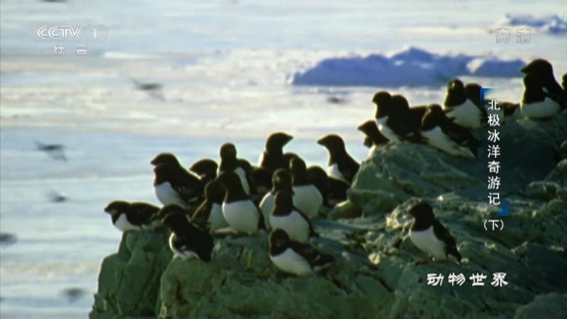 《动物世界》 20210301 北极冰洋奇游记(下)