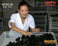 肉黑、价高,养殖讲究的竹乡鸡
