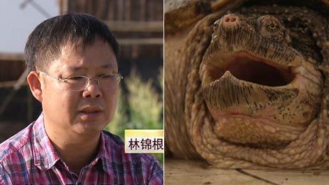 [久久热]林棉根久久热鳄鱼龟一年挣了上千万