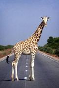 笑翻天!瞧瞧动物怎样过马路