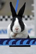 欧洲第一届兔子障碍赛 萌就一个字