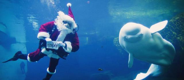 圣诞老人与白鲸共舞 你被萌到了吗?