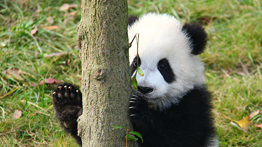 san diego zoo panda cam