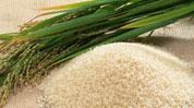 稻米的旅行