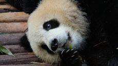 iPanda熊猫直播- 全球首创24小时多路高清直播大熊猫