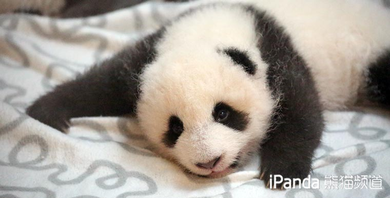 """【精彩一刻】熊猫大明星""""小灰灰""""见面会耍大牌"""