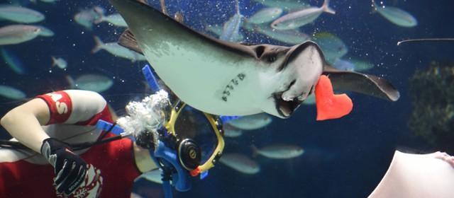"""日本水族馆里的情人节:""""心形肉""""喂鱼"""