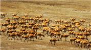 藏羚羊大遷徙