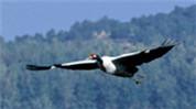 中國珍稀物種·黑頸鶴