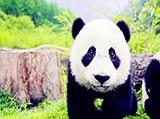 熊猫卖萌记:原来你是这样的国宝