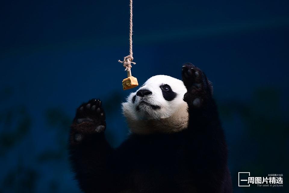 在沈阳森林动物园,入住的大熊猫在室内15℃的暖房里,过着快乐的冬季