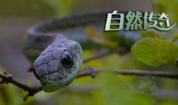 自然传奇爬行动物的秘密|怪蛇猛兽大追捕|动物生存技能大赛|最后的大