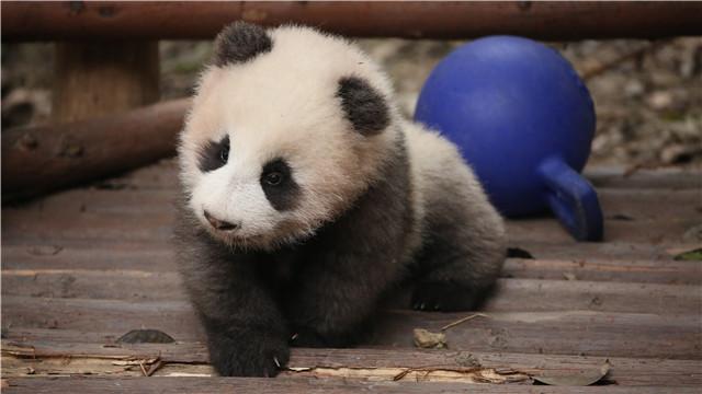 带着国宝上电视,大熊猫萌动《天天向上》