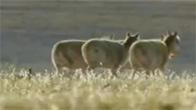 今年首批藏羚羊迁徙