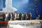 """图片故事:""""企鹅先生""""炼成记"""