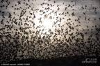 以色列大量椋鸟迁移 遮天蔽日景象壮观
