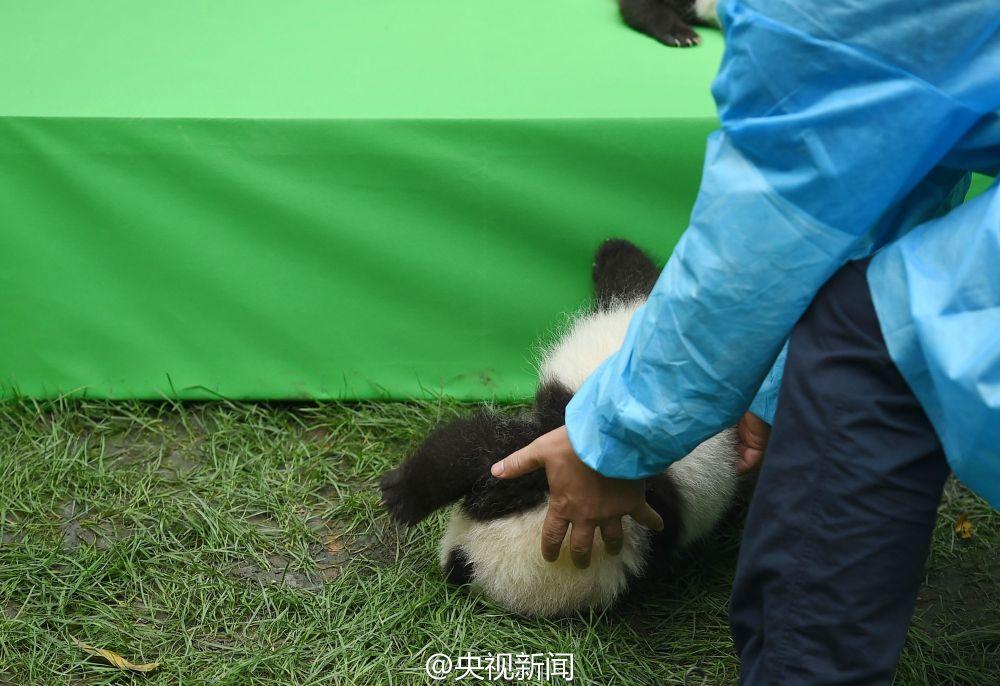 """熊猫宝宝摔了一跤 萌出了""""世界最佳照片"""""""
