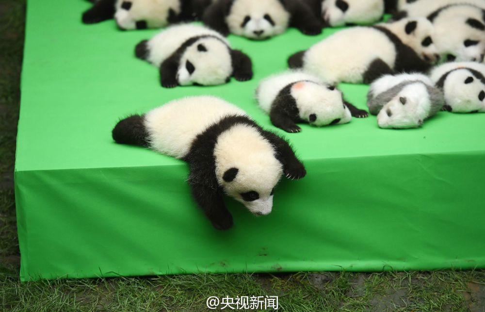 """央视网消息:绿色地毯铺成的舞台上,23只熊猫宝宝集体亮相,活泼的""""滚滚"""
