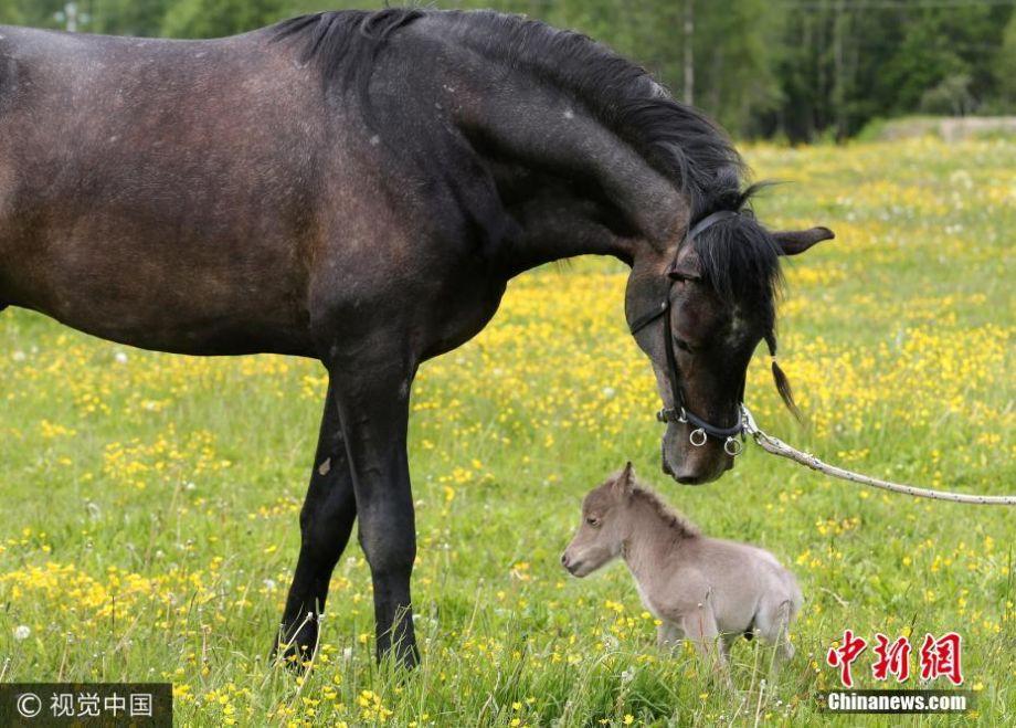 worlds smallest horse wwwpixsharkcom images