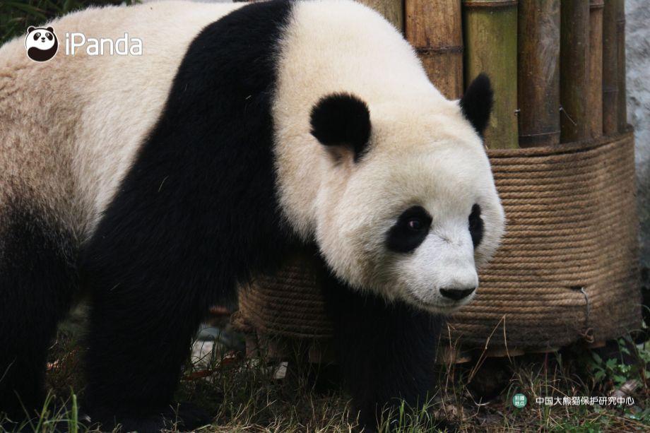 Giant panda Nuan Nuan comes home from Malaysia_熊猫图集_熊猫频道