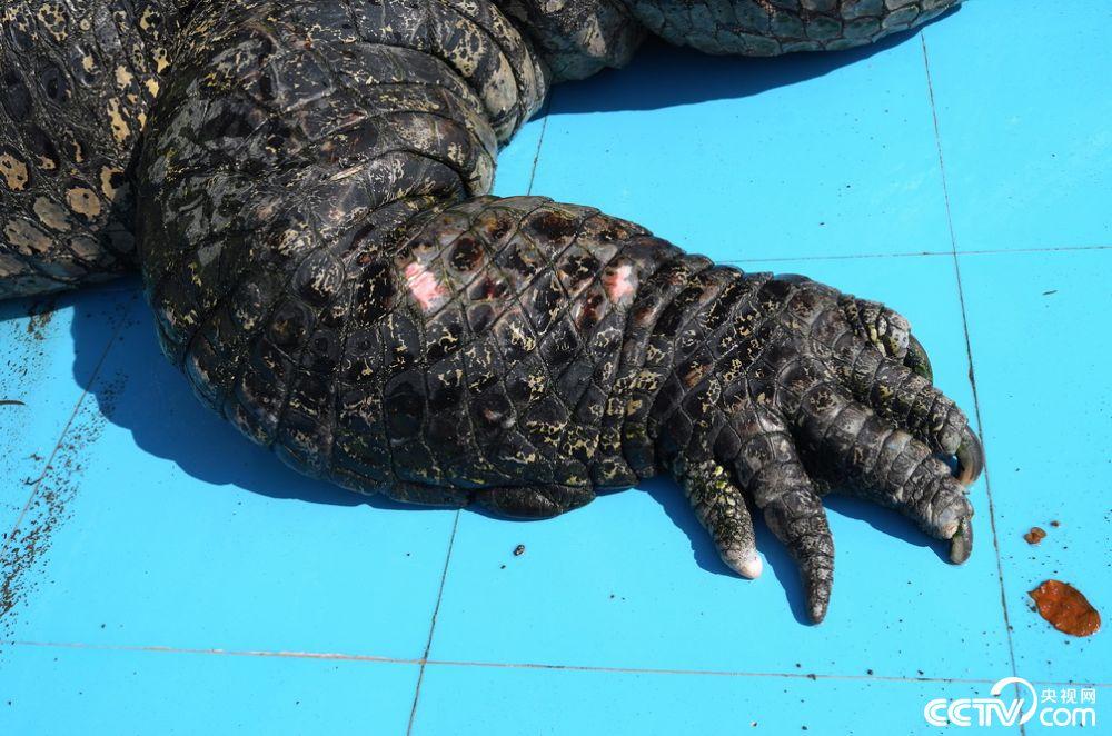 10月31日,福建厦门,中非世野野生动物园内,一只东南亚最大鳄鱼王趴着