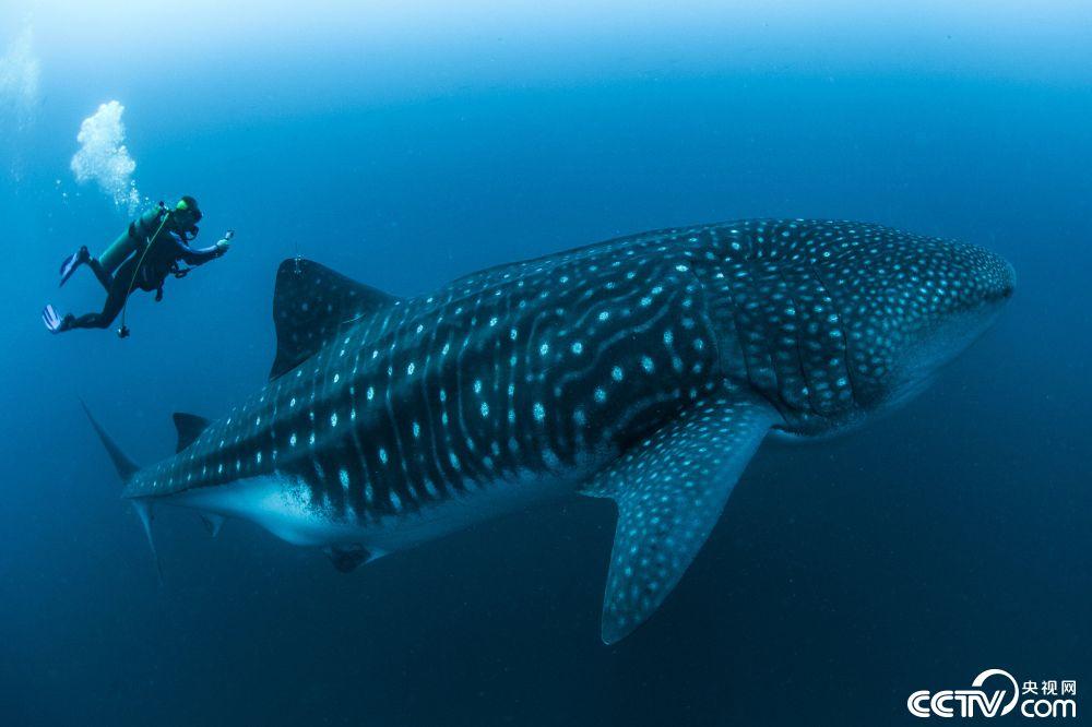 科学家水下与鲸鲨共舞 贴身