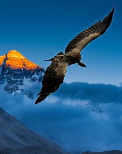 《喜马拉雅高山兀鹫》