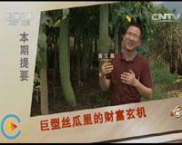 黄文蒋种丝瓜致富经,巨型丝瓜里的财富玄机(20150925)