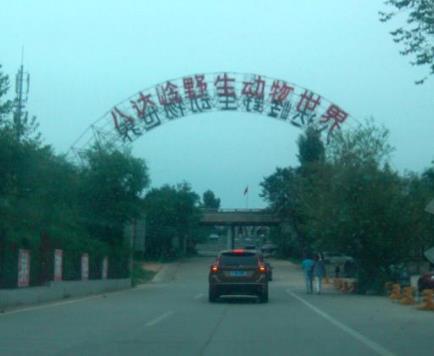北京八达岭野生动物园老虎袭